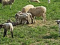 Grazing Sheep (23446620631).jpg