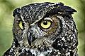 GreatHornedOwl-Wiki.jpg