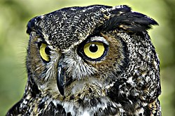 Great Horned Owl (Photo from Wikipedia)