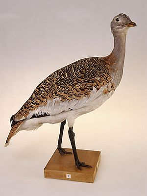 Great bustard - Mounted specimen of a female, with somewhat more muted tones and a more slender, smaller build than the adult male.