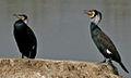 Great Cormorant (Phalacrocorax carbo) near Hodal W IMG 6514.jpg