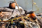 Great Crested Grebes - Stanborough Lakes (33100820593).jpg