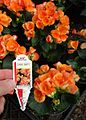 Great Swamp Greenhouse photos Amstel Begonia Dark Britt.JPG
