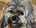 Great hearing, no stranger can enter area without a bark. Toby is her pup. (2219895946).jpg