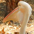 Great white pelican at Nehru zoological Park.jpg
