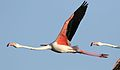 Greater Flamingo, Phoenicopterus roseus at Marievale Nature Reserve, Gauteng, South Africa (29345416431).jpg