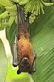 Greater Indian fruit bat @ Kanjirappally 01.jpg