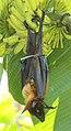 Greater Indian fruit bat @ Kanjirappally 03.jpg