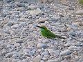 Green Bee-eater - Merops orientalis - Apr07 247.jpg