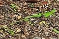 Green Iguana - Iguana iguana, John Pennekamp Coral Reef State Park, Key Largo, Florida.jpg