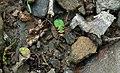 Green Tiger Beetle, Yarner Wood - geograph.org.uk - 831254.jpg