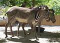 Grevy's Zebras at Hogle Zoo.jpg
