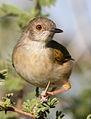 Grey-backed Camaroptera, Camaroptera brachyura, at Mapungubwe National Park, Limpopo, South Africa (18104665686).jpg