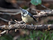Grey-crested Tit I IMG 7285.jpg