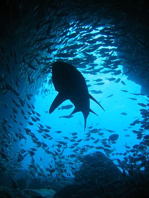 A Grey Nurse shark (Carcharias taurus) silhoue...