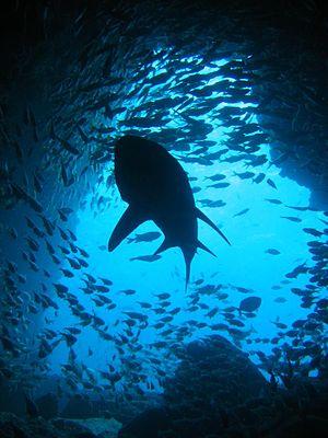 Tinirau - Tinirau is a guardian of the sharks and fishes.