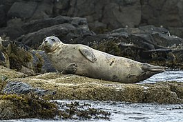 Grey Seal - Farne Is - FJ0A6712 (35938099900).jpg