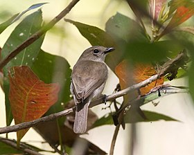 Grey Whistler (Pachycephala simplex) - Flickr - Lip Kee (1).jpg