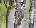 Grey shrike thrush 1 (14648358027).jpg