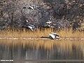 Greylag Goose (Anser anser), Mallard (Anas platyrhynchos) & Nort (40650594153).jpg