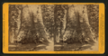 Grizzly Giant, (circum. 101 ft; the Largest Tree Know), Mariposa Co, by John P. Soule 2.png