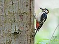 Grote bonte specht - great spotted woodpecker (18078177821).jpg