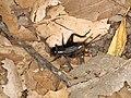Gryllidae sp. (40950378520).jpg