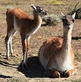 Guanaco herd near Torres del Paine National Park (5484359170).jpg
