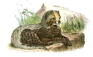 South African cheetah - An illustration of a cheetah cub (Acinonyx jubatus guttata) by Joseph Wolf in the Proceedings of the Zoological Society of London, 1867.