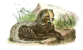 Southeast African cheetah - An illustration of a cheetah cub (Acinonyx jubatus guttata) by Joseph Wolf in the Proceedings of the Zoological Society of London, 1867
