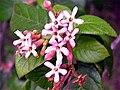 Guettarda flor (color algo saturado).jpg