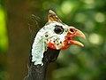 Guinea hen (4513534332).jpg