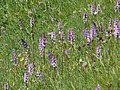 Gymnadenia conopsea 060707.jpg