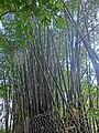 HK 油麻地 Yau Ma Tei 九龍華仁書院 Kowloon Wah Yan College bamboo forest Jan-2014 green.JPG