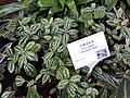 HK ML 半山區 Mid-levels 堅尼地道 Kennedy Road 香港公園 Hong Kong Park flora green leaves February 2020 SS2 07.jpg