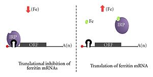 Five prime untranslated region - The binding of an IRP (Iron Regulatory Protein) to and IRE (Iron Response Element), which are hairpin loops, regulation translation.