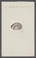 Haliotoidea canaliculata - - Print - Iconographia Zoologica - Special Collections University of Amsterdam - UBAINV0274 081 14 0013.tif