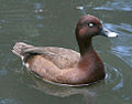 Hardhead or White-eyed Duck RWD.jpg