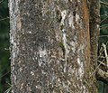 Harra (Terminalia chebula) trunk at 23 Mile, Duars, WB W IMG 59023.jpg