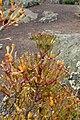Hatiora salicornioides kz2.jpg