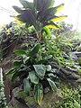 Hawaii - US Botanic Gardens 04.jpg