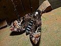 Hawkmoth (Acherontia lachesis) (6707975187).jpg