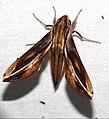Hawkmoth (Xylophanes thyelia) (38594784870).jpg