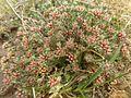 Helichrysum lineare, habitus, Tweeling, a.jpg