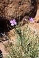 Heliophila suavissima (Brassicaceae - Cruciferae) (4809655340).jpg