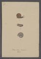 Helix nitida - - Print - Iconographia Zoologica - Special Collections University of Amsterdam - UBAINV0274 089 01 0038.tif