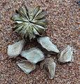Helmiopsiella fruit seed (13946743583).jpg