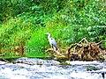 Heron - panoramio (6).jpg