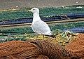 Herring Gull. Larus argentatus (45848767934).jpg