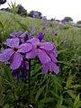 Hesperis matronalis blooming.jpg